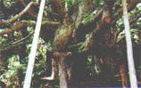 五十谷の大杉 (県天然記念物)